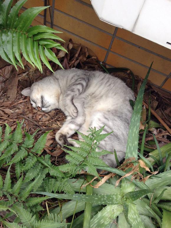 昼寝してるネコ
